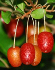 Elaeagnus multiflora - Goumi du Japon