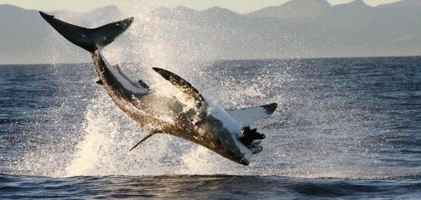 A la découverte du Grand Requin Blanc